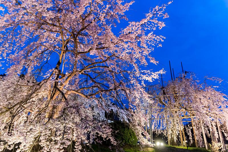 2021桜咲く京都 宇治市植物公園ライトアップ_f0155048_23074797.jpg