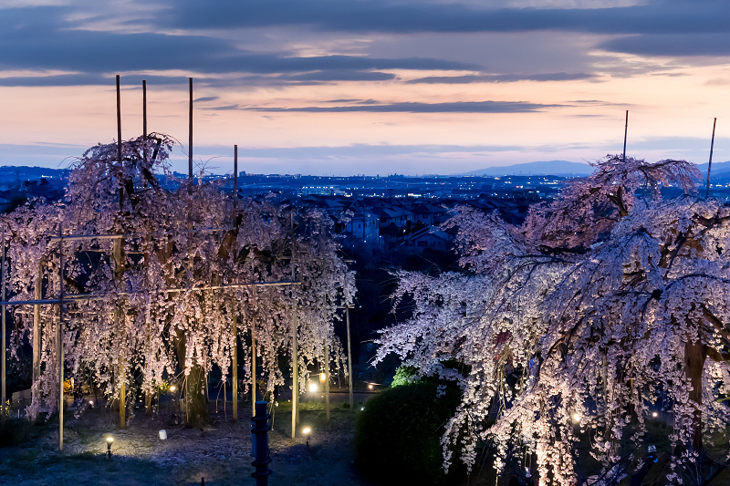 2021桜咲く京都 宇治市植物公園ライトアップ_f0155048_23075441.jpg