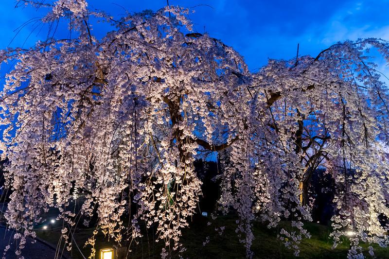 2021桜咲く京都 宇治市植物公園ライトアップ_f0155048_23083581.jpg