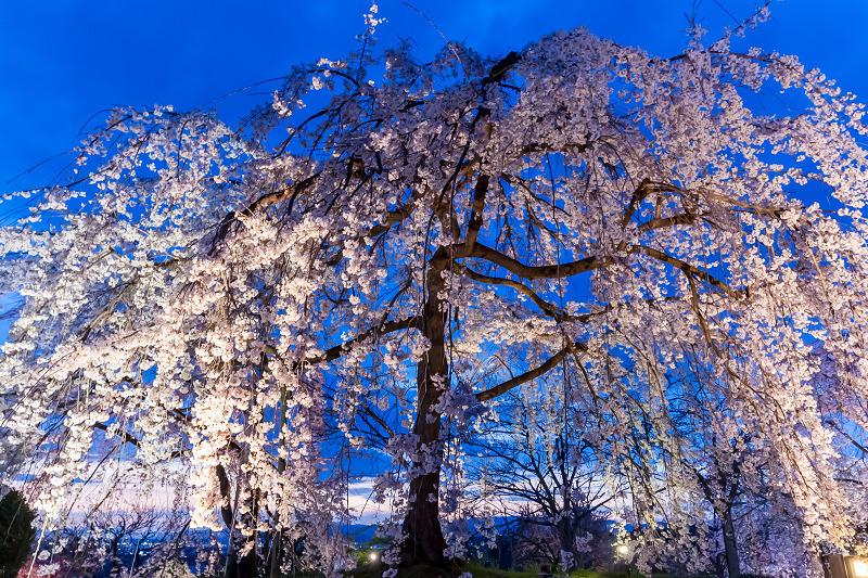 2021桜咲く京都 宇治市植物公園ライトアップ_f0155048_23084925.jpg