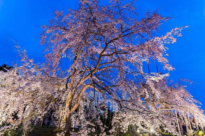 2021桜咲く京都 宇治市植物公園ライトアップ_f0155048_23085741.jpg