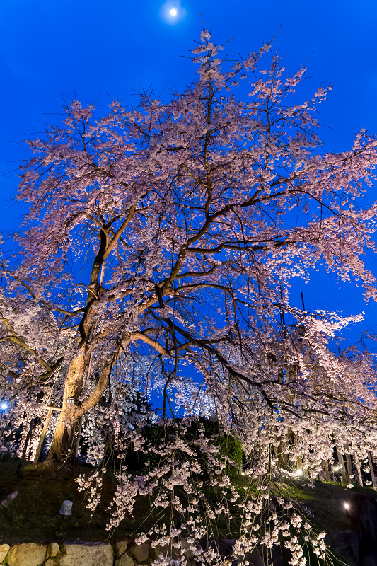 2021桜咲く京都 宇治市植物公園ライトアップ_f0155048_23090881.jpg
