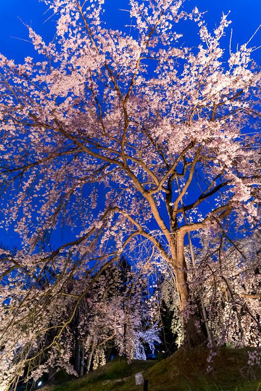 2021桜咲く京都 宇治市植物公園ライトアップ_f0155048_23093444.jpg