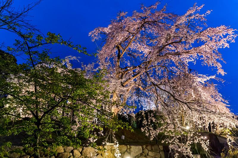 2021桜咲く京都 宇治市植物公園ライトアップ_f0155048_23093789.jpg