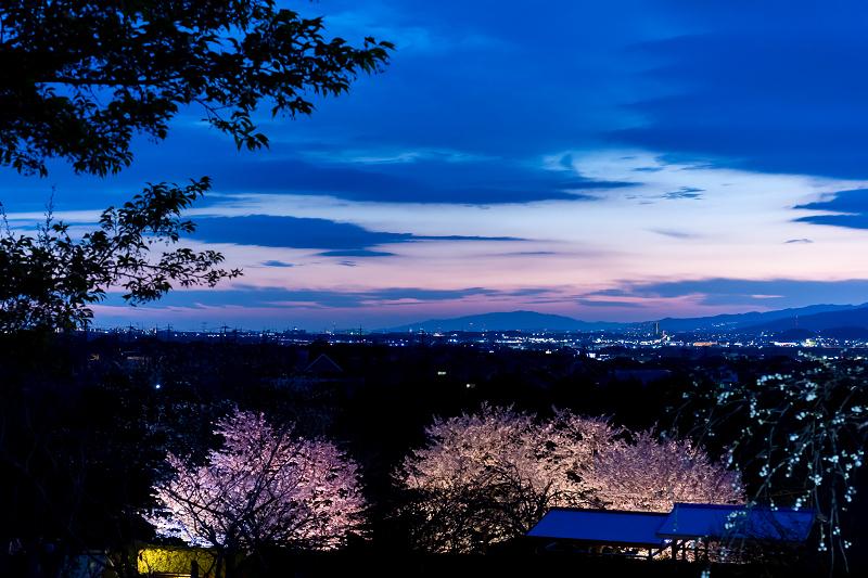 2021桜咲く京都 宇治市植物公園ライトアップ_f0155048_23094063.jpg