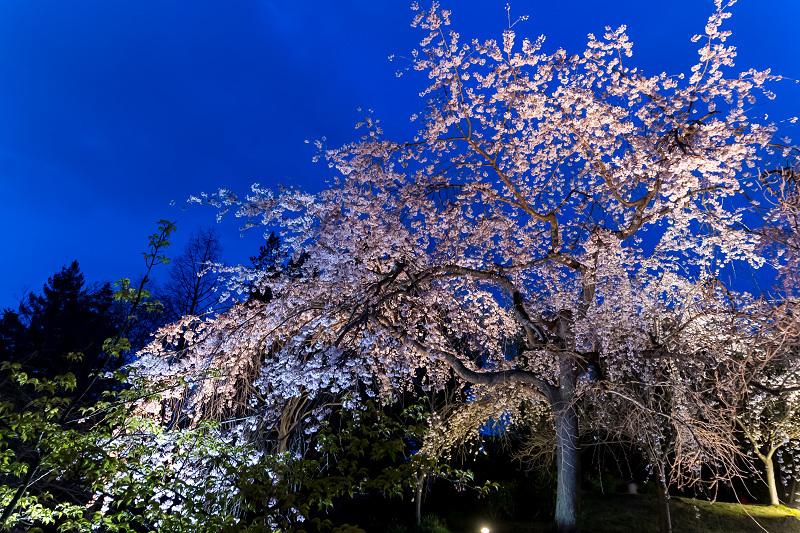 2021桜咲く京都 宇治市植物公園ライトアップ_f0155048_23140432.jpg