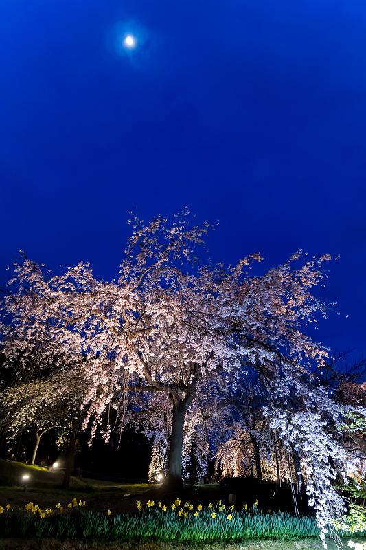 2021桜咲く京都 宇治市植物公園ライトアップ_f0155048_23141735.jpg
