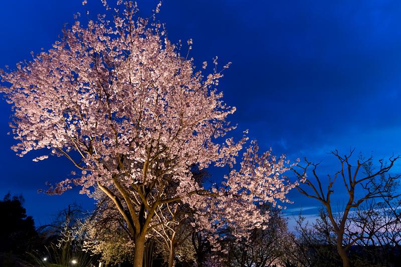 2021桜咲く京都 宇治市植物公園ライトアップ_f0155048_23142399.jpg