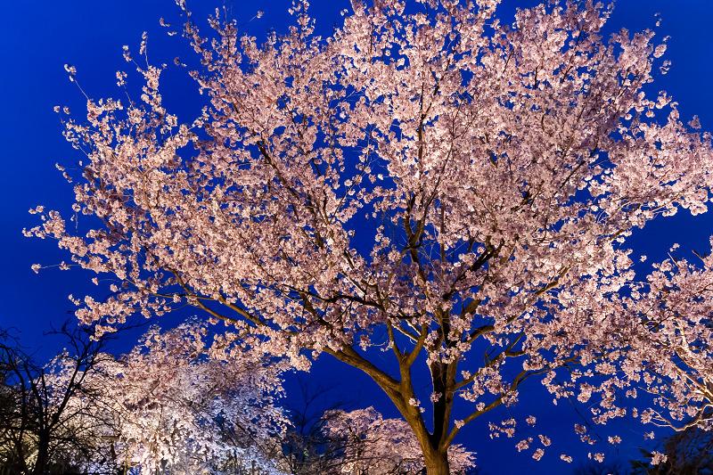 2021桜咲く京都 宇治市植物公園ライトアップ_f0155048_23142834.jpg