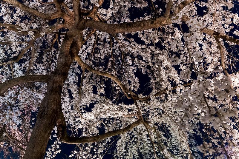 2021桜咲く京都 宇治市植物公園ライトアップ_f0155048_23144843.jpg