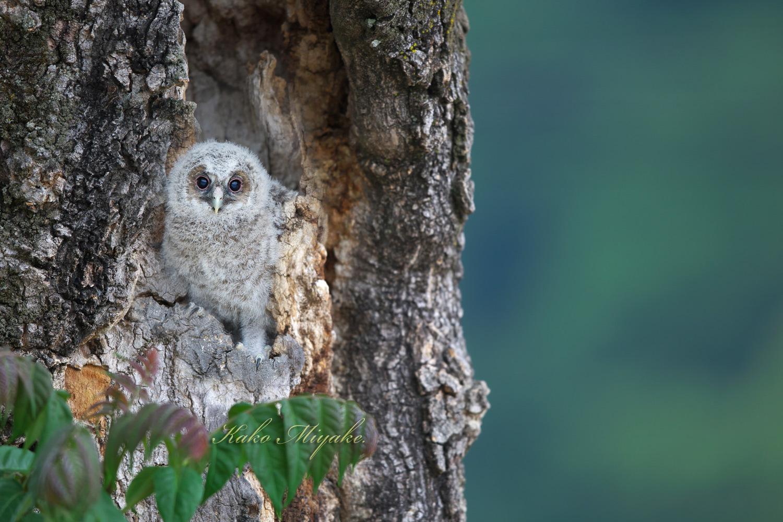 フクロウ(Ural owl)・・・1_d0013455_22002152.jpg