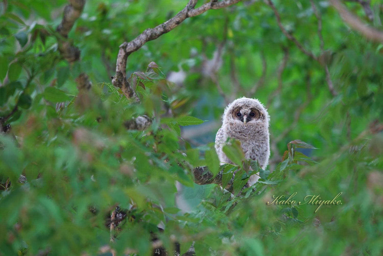 フクロウ(Ural owl)・・・1_d0013455_22002410.jpg