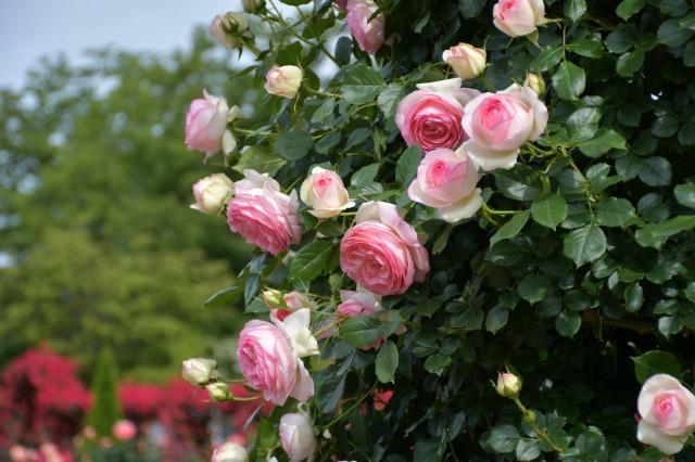 薔薇が美しく咲くガーデンへ ~ あしかがフラワーパーク Ⅰ_b0356401_21391358.jpg