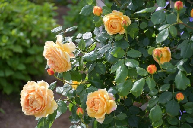薔薇が美しく咲くガーデンへ ~ あしかがフラワーパーク Ⅰ_b0356401_21391627.jpg