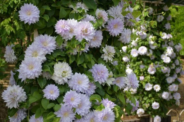 薔薇が美しく咲くガーデンへ ~ あしかがフラワーパーク Ⅰ_b0356401_21400481.jpg