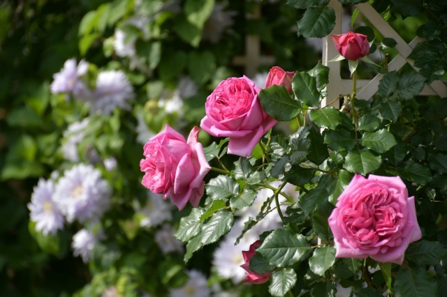 薔薇が美しく咲くガーデンへ ~ あしかがフラワーパーク Ⅰ_b0356401_21401466.jpg