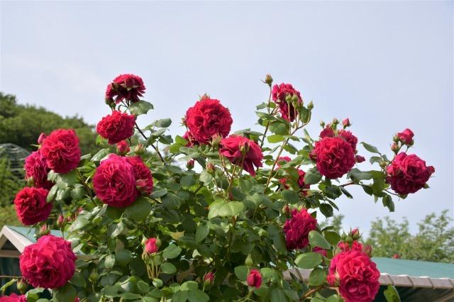薔薇が美しく咲くガーデンへ ~ あしかがフラワーパーク Ⅰ_b0356401_21402974.jpg