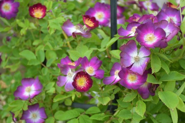 薔薇が美しく咲くガーデンへ ~ あしかがフラワーパーク Ⅰ_b0356401_21404418.jpg