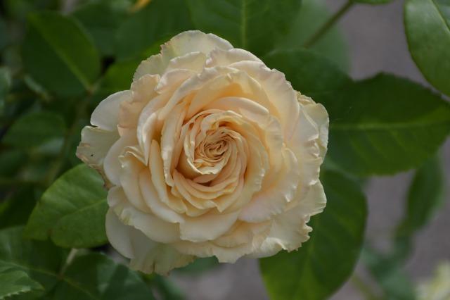 薔薇が美しく咲くガーデンへ ~ あしかがフラワーパーク Ⅰ_b0356401_21405181.jpg