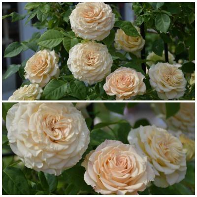 薔薇が美しく咲くガーデンへ ~ あしかがフラワーパーク Ⅰ_b0356401_21405586.jpg
