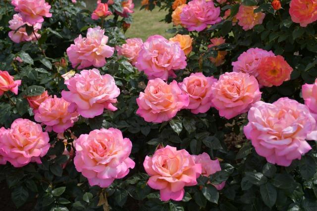 薔薇が美しく咲くガーデンへ ~ あしかがフラワーパーク Ⅰ_b0356401_21411777.jpg