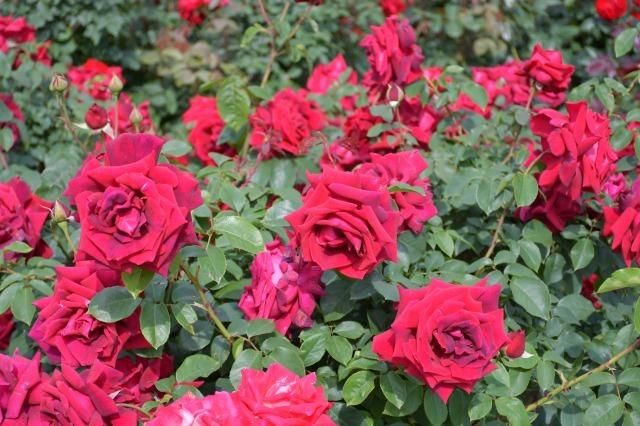 薔薇が美しく咲くガーデンへ ~ あしかがフラワーパーク Ⅰ_b0356401_21412118.jpg