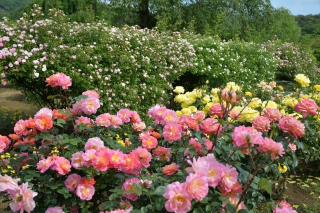 薔薇が美しく咲くガーデンへ ~ あしかがフラワーパーク Ⅰ_b0356401_21412670.jpg