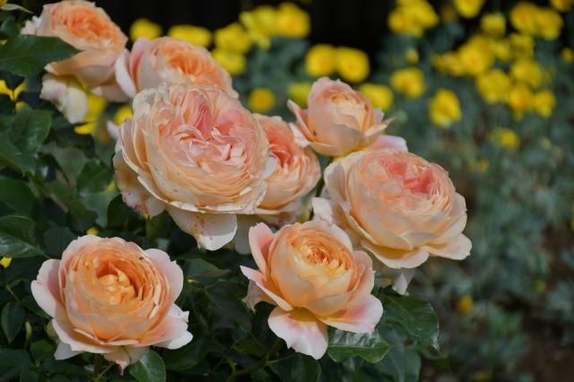 薔薇が美しく咲くガーデンへ ~ あしかがフラワーパーク Ⅰ_b0356401_21412960.jpg