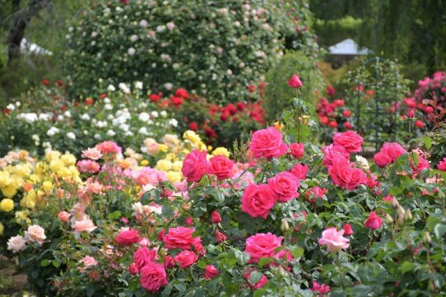 薔薇が美しく咲くガーデンへ ~ あしかがフラワーパーク Ⅰ_b0356401_21413383.jpg