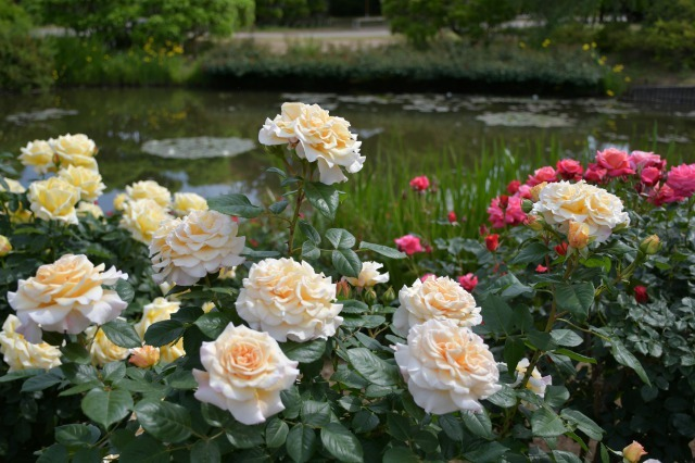 薔薇が美しく咲くガーデンへ ~ あしかがフラワーパーク Ⅰ_b0356401_21413676.jpg