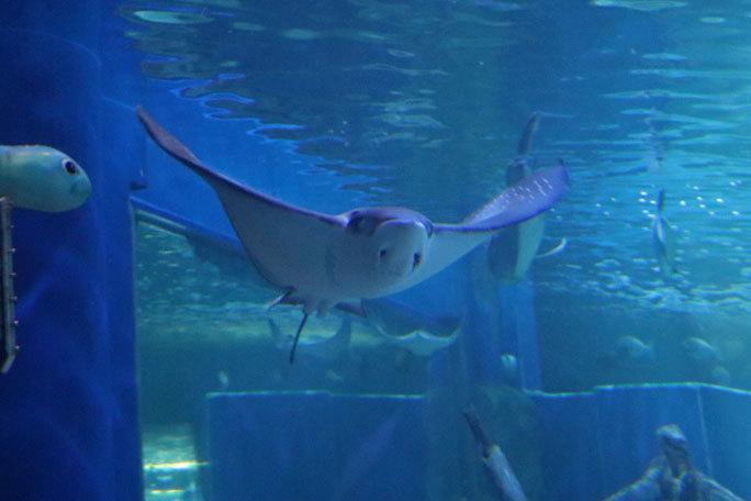 しながわ水族館「トンネル水槽」①~古代魚ターポンとサメたち(August 2020)_b0355317_21304952.jpg
