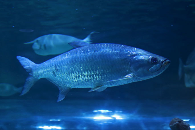 しながわ水族館「トンネル水槽」①~古代魚ターポンとサメたち(August 2020)_b0355317_21321846.jpg