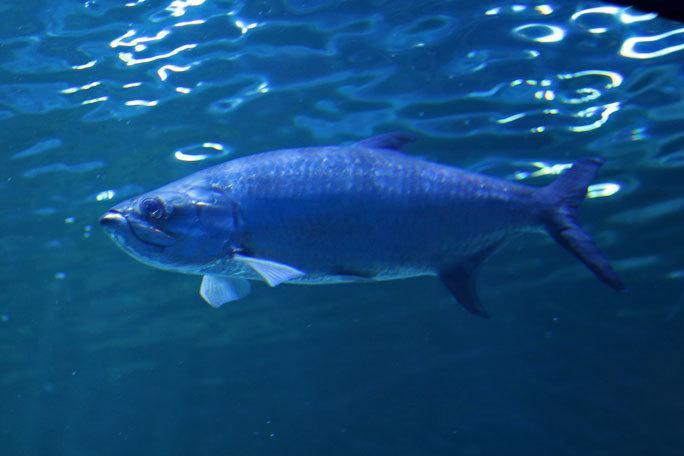 しながわ水族館「トンネル水槽」①~古代魚ターポンとサメたち(August 2020)_b0355317_21332799.jpg