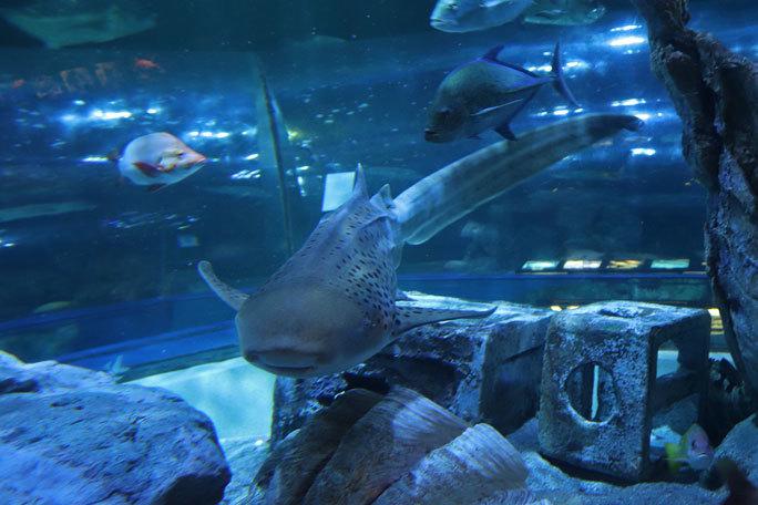 しながわ水族館「トンネル水槽」①~古代魚ターポンとサメたち(August 2020)_b0355317_21454423.jpg