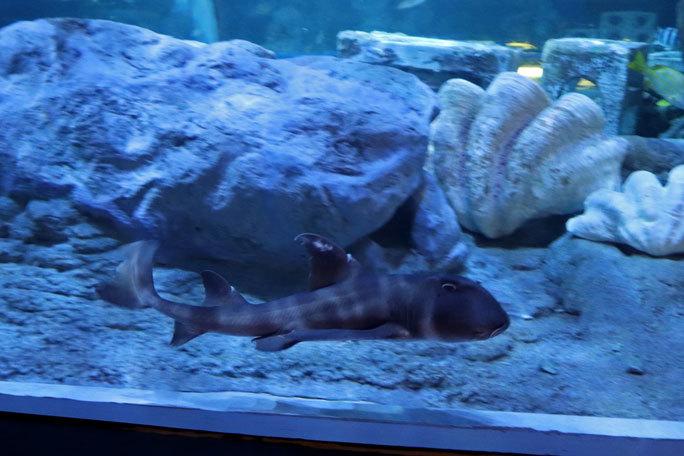 しながわ水族館「トンネル水槽」①~古代魚ターポンとサメたち(August 2020)_b0355317_21465402.jpg