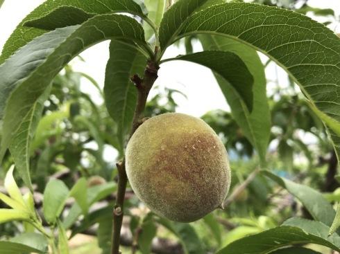 収穫までもう一か月!_a0263653_19342744.jpg