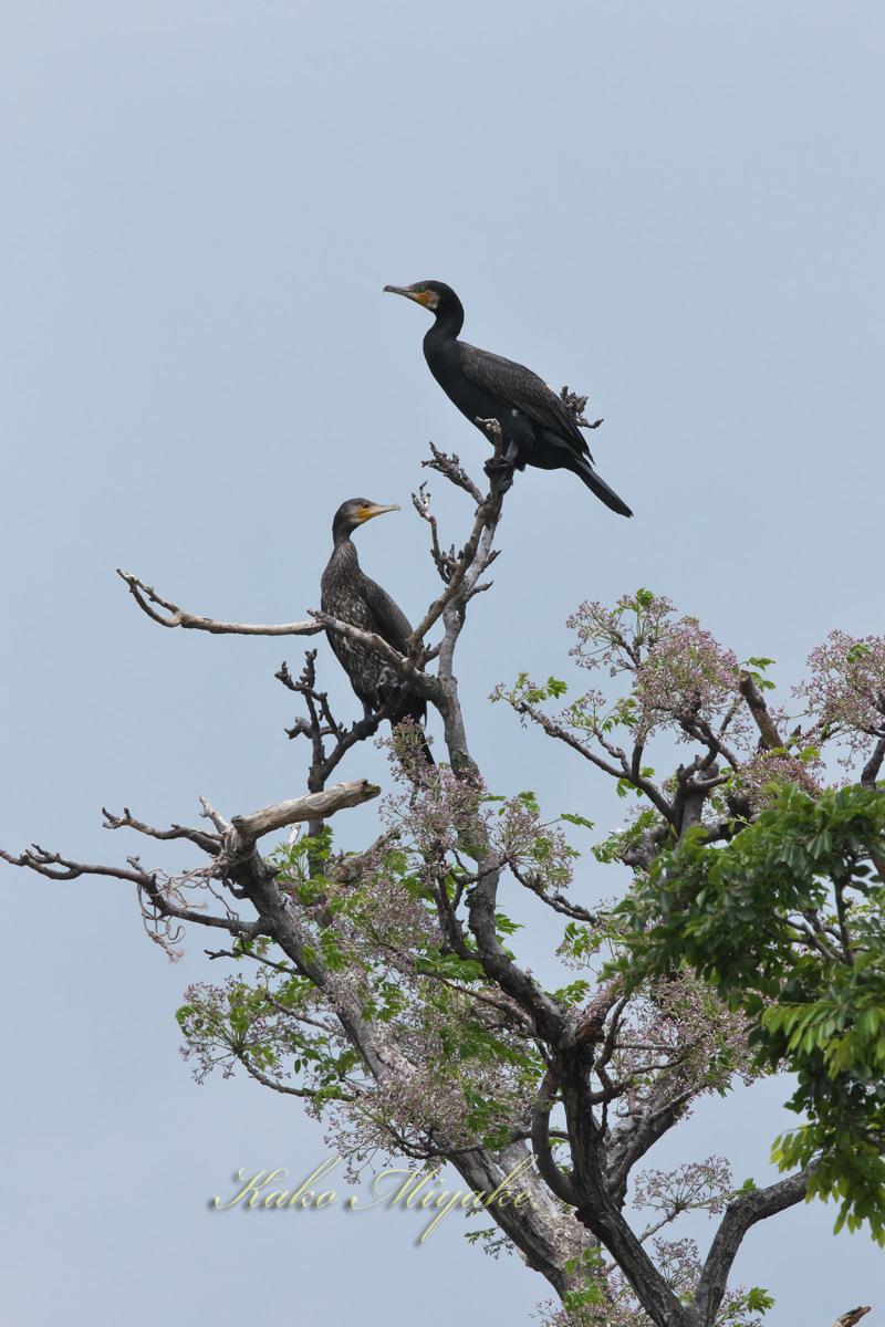 カワウ(Great Cormorant)_d0013455_19241511.jpg