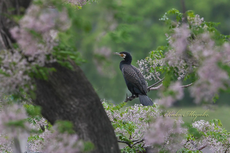 カワウ(Great Cormorant)_d0013455_19242242.jpg