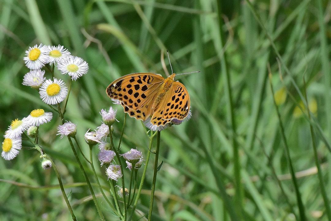 高原にも夏の訪れ、元気に飛び回るヒョウモン類(2021/05/mid)外秩父山地_d0387460_11533522.jpg