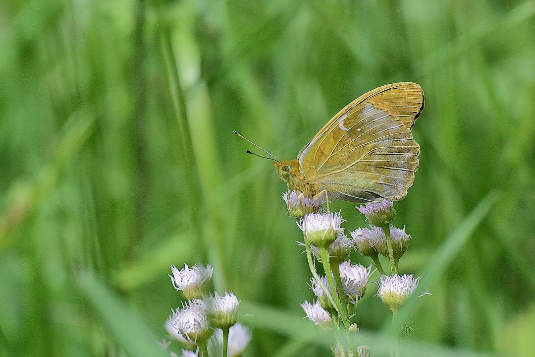 高原にも夏の訪れ、元気に飛び回るヒョウモン類(2021/05/mid)外秩父山地_d0387460_11534278.jpg