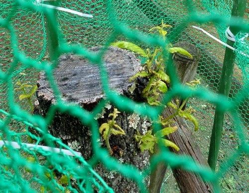 若芽は順調に育っているようだ_b0102572_15423658.jpg