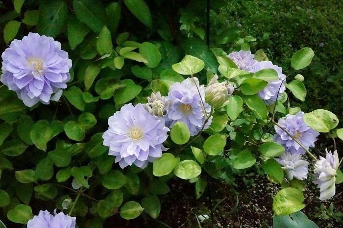 今咲いているクレマチス_e0365880_23432860.jpg
