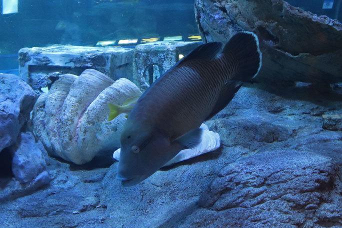 しながわ水族館「トンネル水槽」③~多彩な魚たち(August 2020)_b0355317_21312660.jpg