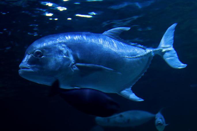 しながわ水族館「トンネル水槽」③~多彩な魚たち(August 2020)_b0355317_21331715.jpg