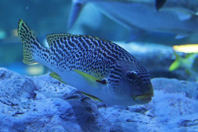 しながわ水族館「トンネル水槽」③~多彩な魚たち(August 2020)_b0355317_21341575.jpg