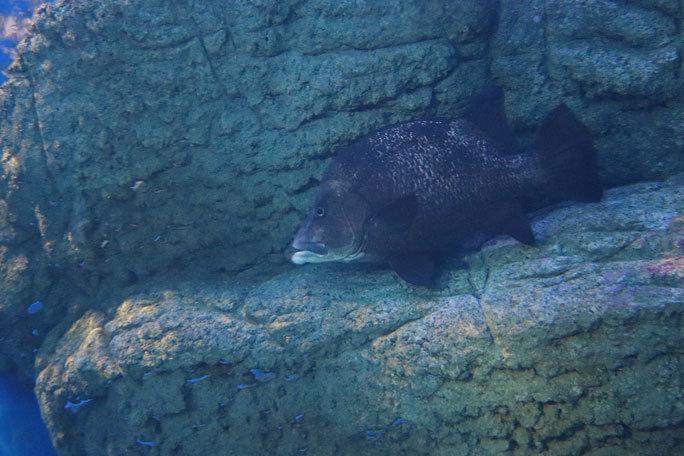 しながわ水族館「トンネル水槽」③~多彩な魚たち(August 2020)_b0355317_21354049.jpg