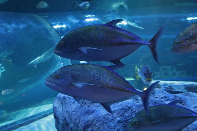 しながわ水族館「トンネル水槽」③~多彩な魚たち(August 2020)_b0355317_21371665.jpg
