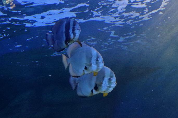 しながわ水族館「トンネル水槽」③~多彩な魚たち(August 2020)_b0355317_21393373.jpg