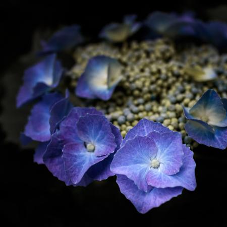 花のある風景 ガクアジサイ_b0133053_20142149.jpg