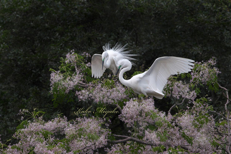 亜種チュウダイサギ(Great Egret)・・・1_d0013455_23035457.jpg